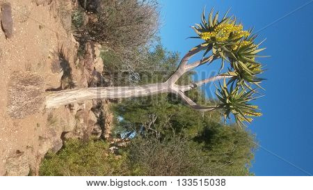 Quiver tree (Aloe dichotoma) indigenous to the Northern Cape region of South Africa,