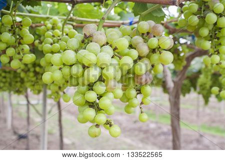 background nature grapes farm beautiful view green