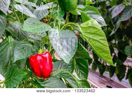 Bright red pepper ripening on a plant in a large glasshouse of a specialized Dutch grower on a sunny day in the spring season