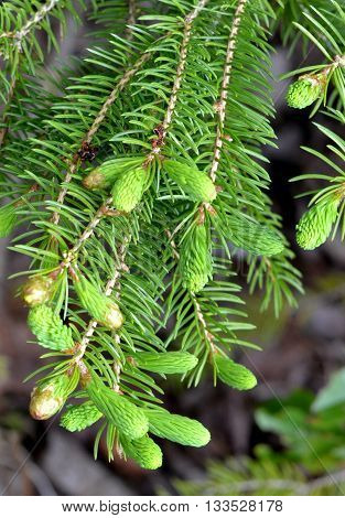 Closeup of spruce tips ready for harvest. Edible plant, forage, foraging, food.