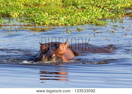 Hippopotamus showing over the waters of Lake Naivasha Kenya