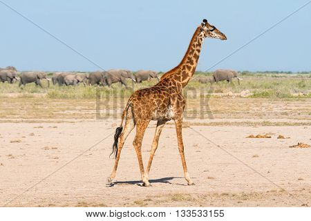 Giraffe in Amboseli Kenya. Group of elephants on background