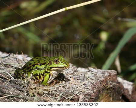 sitting green frog on a lake background
