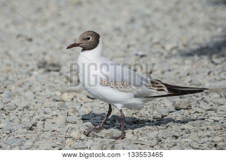 Juvenile black headed gull walking along a shingle beach