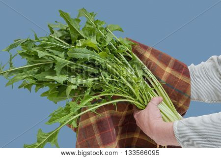 Drying Freshly Washed Dandelion Greens with Towel
