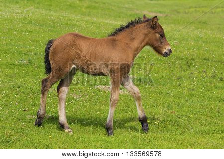 Cute brown foal on the floral meadow.