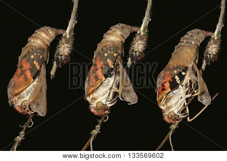 Metamorphosis of Painted lady butterfly Vanessa cardui