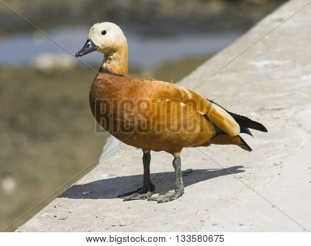 Male of ruddy shelduck on concrete border of dry pond portrait with bokeh background selective focus