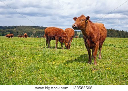 Herd of cattle grazing on pasture in spring