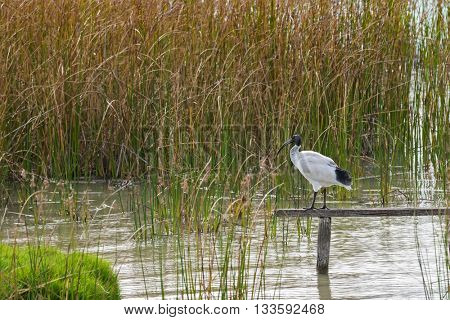 Australian White Ibis with white plumage and black head standing on wooden pole above Lake Albert on Narrung Road, Meningie, South Australia