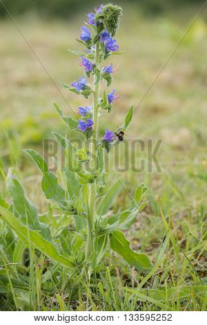 Viper´s Bugloss (Echium vulgare) visited by a Buff-tailed Bumblebee (Bombus terrestris) in a Dune Landscape