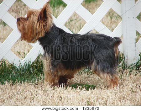 Yorkie By Fence