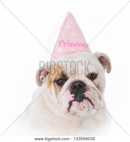 spoiled english bulldog wearing princess hat on white background