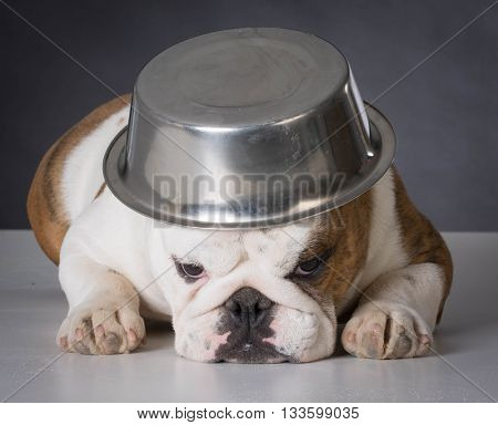 english bulldog with dog food bowl on head on black background