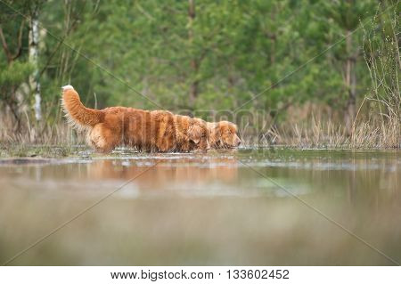 Two nova scotia duck tolling retrievers or toller dogs sniffing around in a lake surrounded with trees