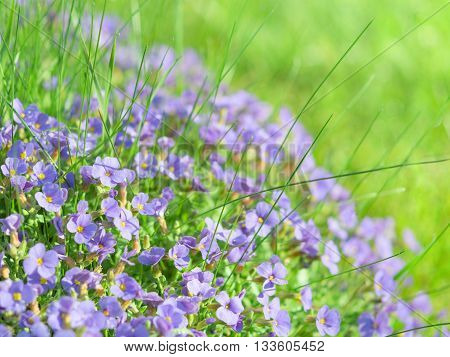 Small Blue Field Flowers On Sunlight Alpine Meadow
