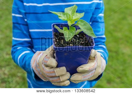 A child holding a pepper seedling that is ready to transplant into the garden.