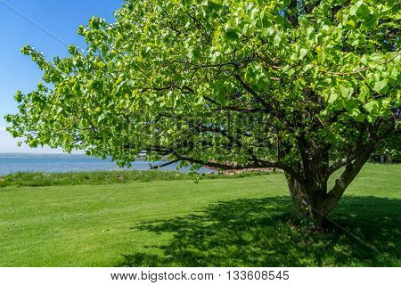 Beautiful linden tree with the Charlottetown, PEI waterfront in the background.