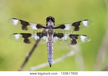 Eight-spotted Skimmer - Libellula forensis, adult, male. The eight-spotted skimmer (Libellula forensis) is a dragonfly of the skimmer family.