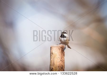 Black capped chickadee sitting on a post with blurred background
