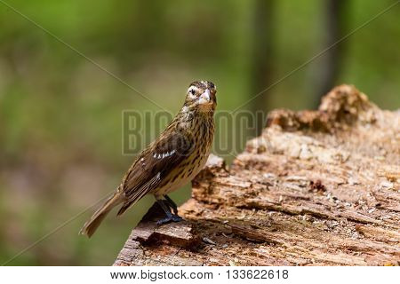 Rose-breasted Grosbeak female perched on a log deep in a boreal forest northern Quebec, Canada.