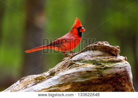 The northern cardinal is a North American bird in the genus Cardinalis; it is also known colloquially as the redbird or common cardinal. During courtship, the male feeds seed to the female beak-to-beak poster