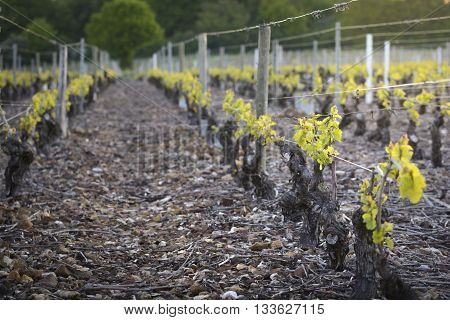 Young vineyards of Beaujolais, Burgundy in France