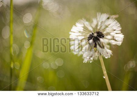 Close up of a dandelion taraxacum seeds with hair pappus