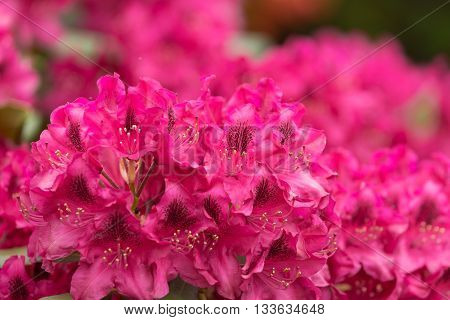 Pink red azaleas blooms with small evergreen leaves in springtime garden. Spring beautiful flower with shallow focus poster