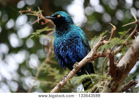 Green blue bird burchell`s starling ( Lamprotornis australis ) sitting on the tree branch. Kruger National Park. South Africa.