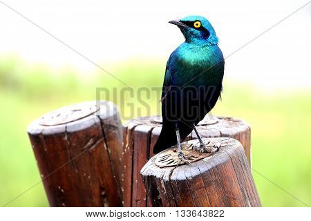 Green blue bird burchell`s starling ( Lamprotornis australis ) sitting on the fence. Kruger National Park. South Africa.