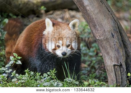 A young red Panda separating from the herd