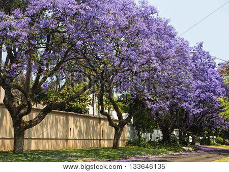 Street of beautiful purple vibrant jacaranda in bloom. Tenderness. Romantic style. Spring in South Africa. Pretoria.