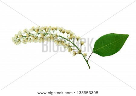 Pressed and dried white flowers brush prunus virginiana or red bird-cherry. Isolated on white background.