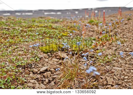 The Putorana Plateau. Forget-me-nots among the stones.