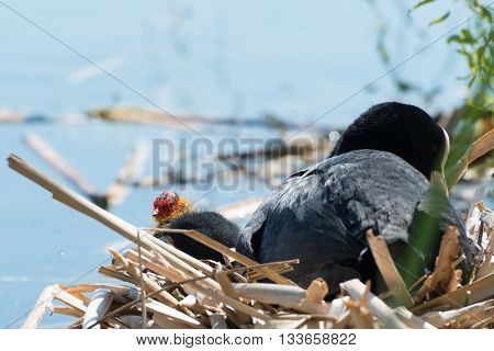 Black Coot With Chcks At Sea