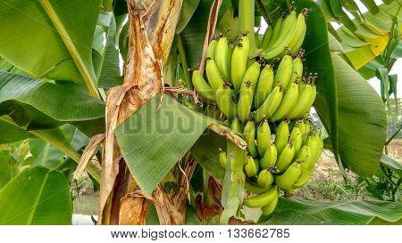 Green Bananas Hanging Down From Banana Tree
