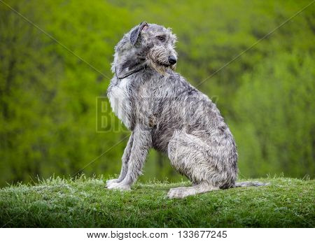 Irish Wolfhound sits on a green grass
