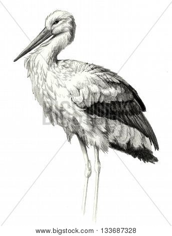 Portrait of a stork in profile isolated on white background. Pencil sketch of detailed