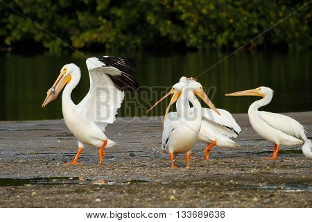 White Pelicans At Ding Darling National Wildlife Refuge