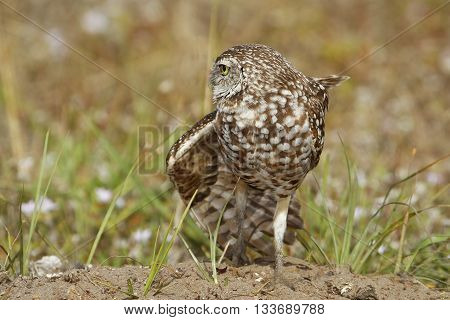 Burrowing Owl (Athene cunicularia) stretching wing on the ground