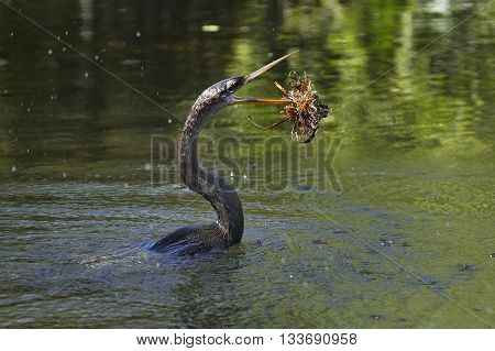 Anhinga (Anhinga anhinga) swimming in a river