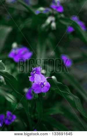 violet small flowers Ageratum Houstona,wild flowers ,gentle and beautiful