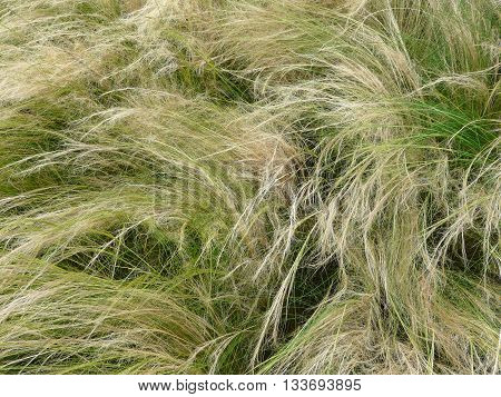 The Feather Grass or Needle Grass Nassella tenuissima is planted as a decorative grass in parks and gardens