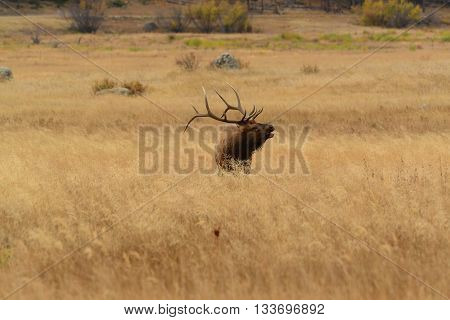 Bull elk bugling in golden meadow of the Rocky Mountains