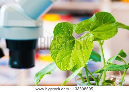 Genetically modified plant in science laboratory