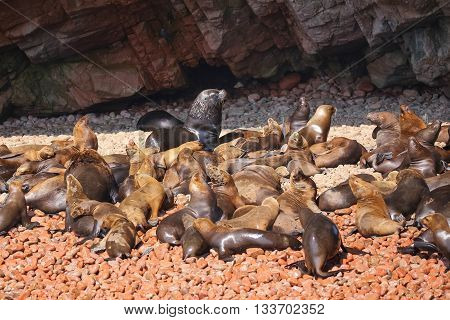 Colony Of South American Sea Lions In Ballestas Islands Reserve In Peru