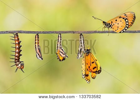 Life cycle of Tawny Coster transform from caterpillar to butterfly on twig poster