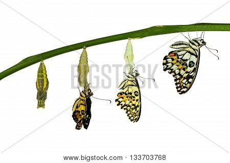 Isolated Transformation Of Lime Butterfly On White