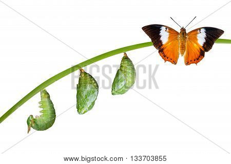 Isolated Life Cycle Of Tawny Rajah Butterfly On White